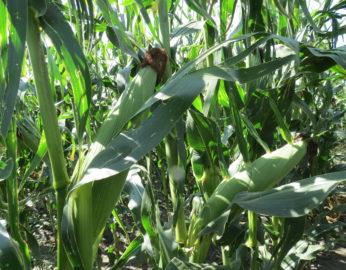 mid-season corn plants growing in farm field. Close up on two plants.