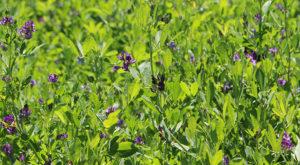 group of alfalfa plants in field, purple flowers growing.