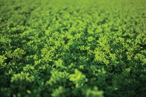 dense green flax cover crop covering farm field